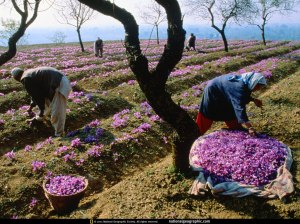 Women working in a Saffron Field at Pampore. Picture: National Geographic
